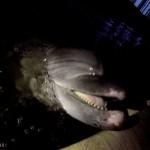 Дельфины стали жертвой недобросовестных предпринимателей