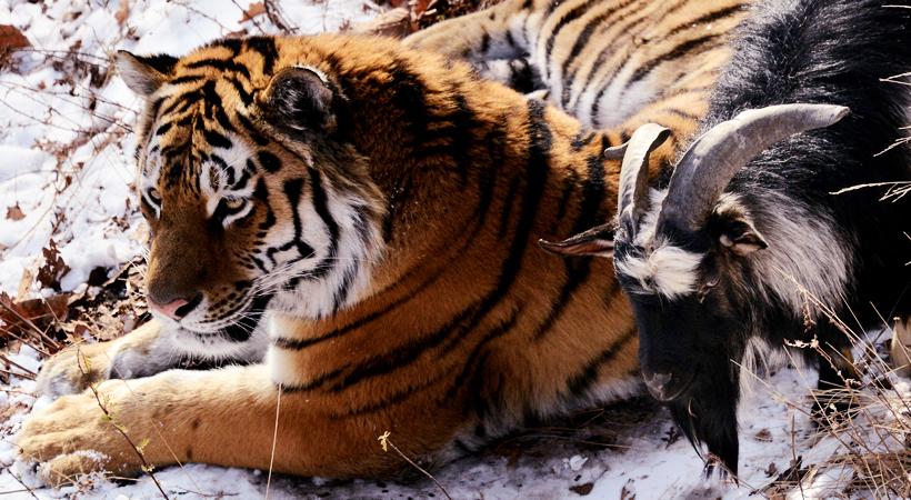 дружба тигра с козлом