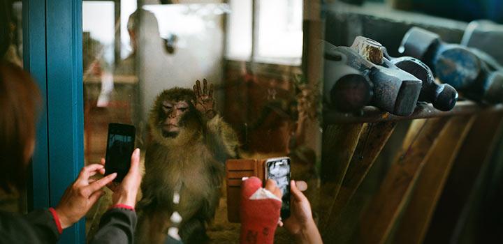 картинка От обезьяны к человеку: пропасть или лестница?
